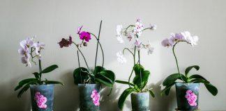 Jak dbać o storczyki - sprawdzone porady