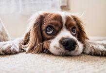 sennik pies